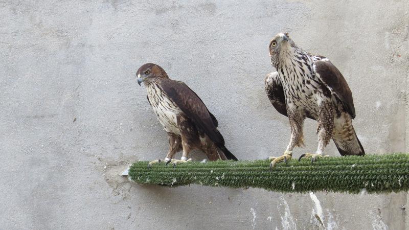 GREFA - Todas las miradas sobre las águilas de Bonelli reproductoras
