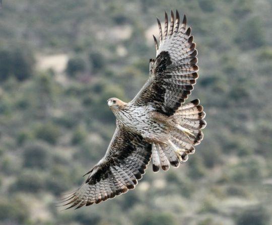 El macho de águila de Bonelli Bélmez, en vuelo. Este ejemplar forma parte de la primera pareja reintroducida de su especie que ha logrado criar en la Comunidad de Madrid. Foto: Sergio de la Fuente / GREFA.