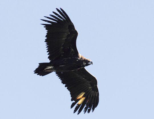 Abutre-preto em voo depois de ser libertado na Serra de la Demanda. Foto: GREFA