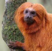 """Ejemplar de tití león dorado (Leontopithecus rosalia). Este especie de primate, endémica de Brasil, está catalogada como """"En peligro"""" y ha sido objeto de reintroducciones en su hábitat (foto: UICN)."""
