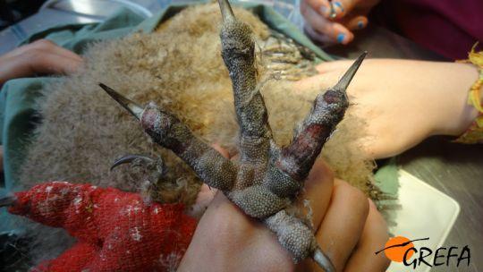 Quemaduras producidas por el fuego en una de las garras de un pollo de búho real.