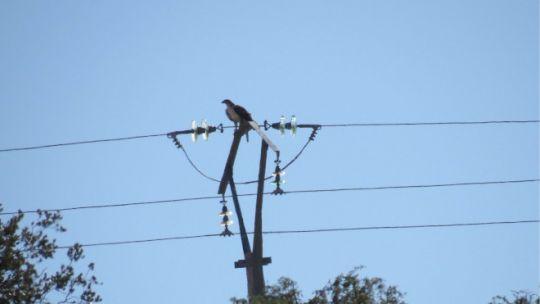 Águila de Bonelli posada en el apoyo de un tendido eléctrico.